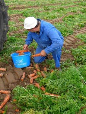 arrachage carotte manuel.jpg