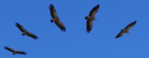 vol de vautiours.jpg