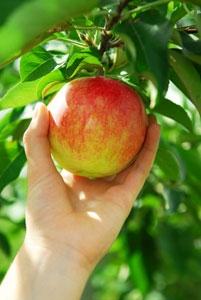 cueillette-pomme.jpg